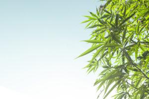 cannabis-marijuana-THC